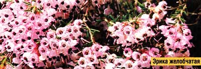 эрика цветет