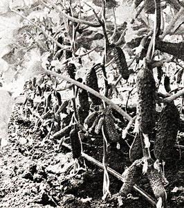 начало сбора огурцов