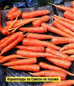 свежей морковки
