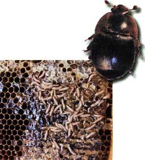 опасный вредитель пчел