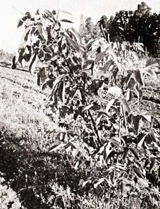 гибридов ореха грецкого