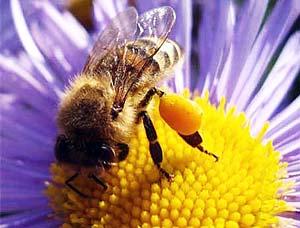 Сокровища цветочной пыльцы