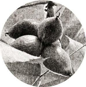 Орех ланкастерский