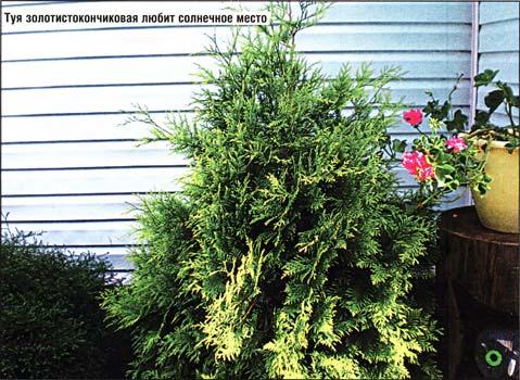 видов хвойных растений