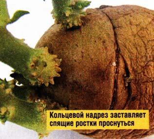 проращивание клубней