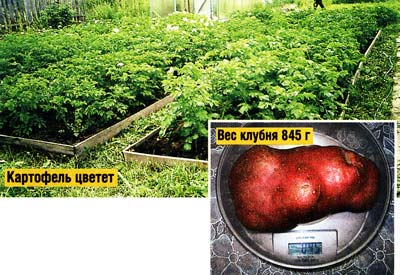 копки картофеля