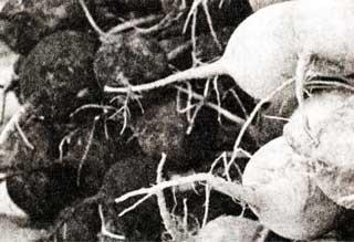Корнеплоды редьки маргеланской