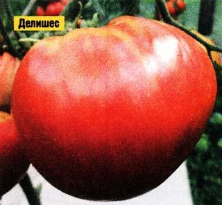 Новое в выращивании рассады томатов