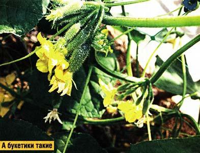 огурцы букетного типа плодоношения
