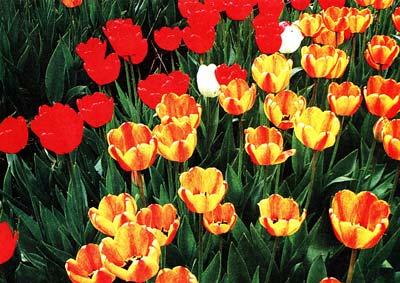 о нарциссах и тюльпанах
