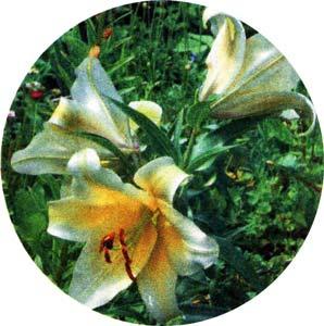 луковичные цветут