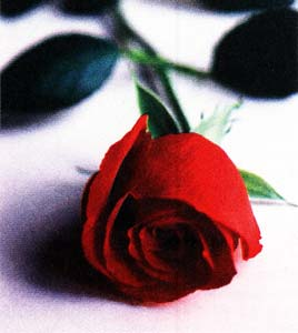 Реанимация для роз