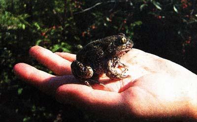 жабы ядовиты