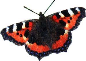 распространенная бабочка
