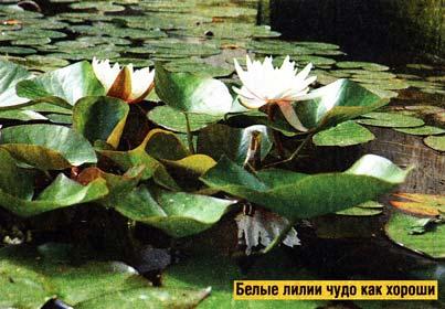 Белая кувшинка