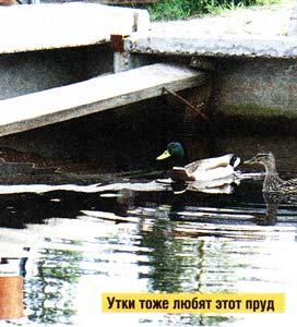 в пруду плавают утки