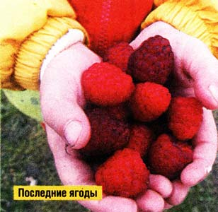 ждать урожая малины