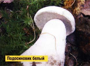 Белый подосиновик