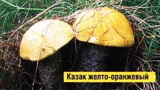 казак берёзовый