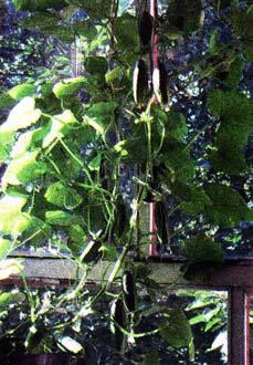 выращивать зелень