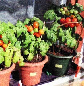 рассады томатов весной