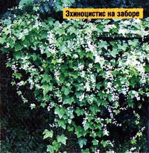 помогут вьющиеся растения