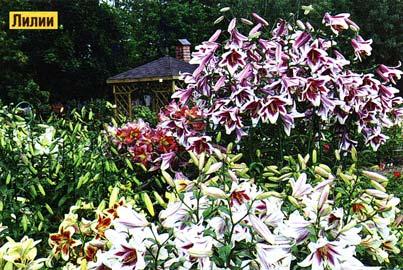 Высокорослые лилии