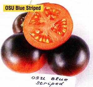OSU Blue Striped