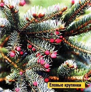 шишечки хвойных деревьев