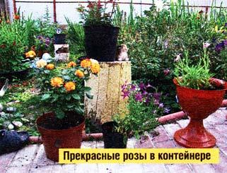 Розы в этих вазонах
