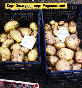 вкус картофеля