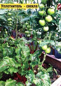 урожаем томатов