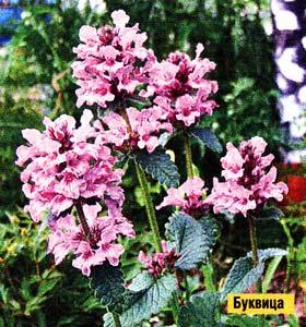 выращиваю многолетние цветы