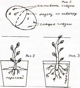 уход за рассадой картофеля