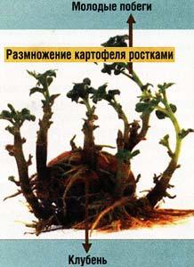 картофеля из ростков