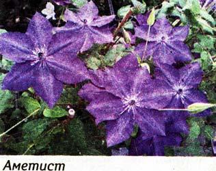 Крупноцветковый клематис