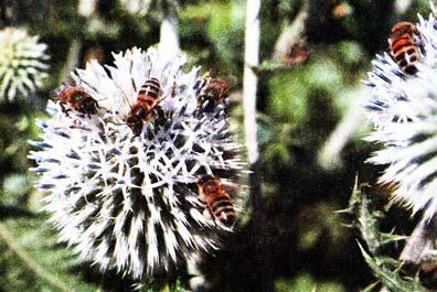 Нектар мордовника