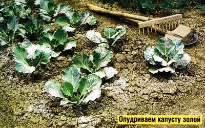 подкармливаю капусту