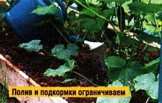 корни огурцов