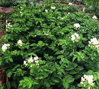 О выращивании картофеля из семян