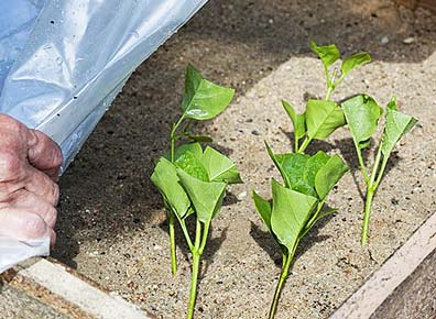 Размножение зелеными черенками вишни