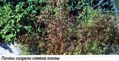 Укроп и кинза