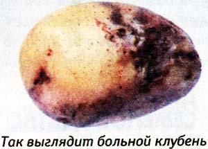 картофель при хранении