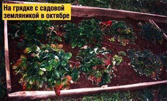 садовая земляника осенью