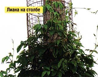 посадить вьющиеся растения