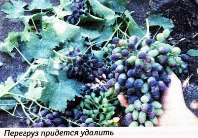 ускорить созревание винограда