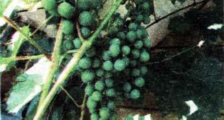 созревания винограда