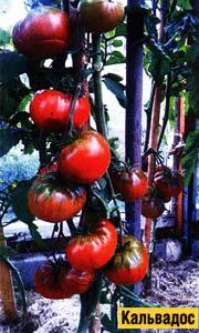 теплице томатам