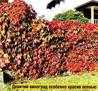 посадить девичий виноград