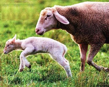 овец на пастбище